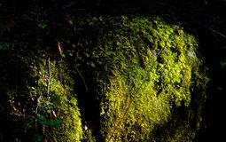 Moss covered lg at dawn Stock Photo