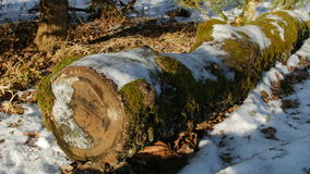 Moss covered log in the forest. Moss covered oak log in the forest, winter stock footage