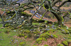 Moss covered mountain oak tree protecting the ruins of a Miner's cottage, Hafod y Llan Royalty Free Stock Images