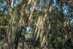 Moss covered oak tree Stock Photography