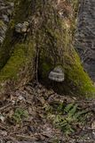 Moss-covered tree roots on dry land lit by the bright sun royalty free stock image