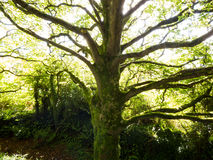 Moss Covered and Open Branched Tree in Ireland. A lush moss-covered tree with branches that extend as if to embrace you. Taken in Wicklow, Ireland Stock Image