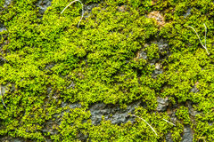 moss covered rock background and texture Royalty Free Stock Photo