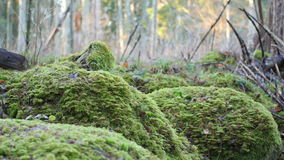 Moss-covered rock formation in a forest. Dolly shot of a moss-covered rock formation in a forest, cut-down trees in background stock footage