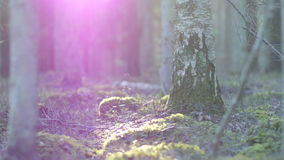 Moss covered rock formation and a forest floor. Dolly shot of a moss covered rock formation and a forest floor with birch and pine trees, sun flare stock video