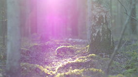 Moss covered rock formation and a forest floor. Dolly shot of a moss covered rock formation and a forest floor with birch and pine trees, sun flare stock video footage