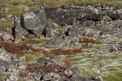 Moss-covered rock outcroppings in the lava fields of Iceland. Outside Reykjavik royalty free stock photo