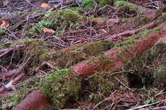 Moss Covered Root Fotografie Stock Libere da Diritti