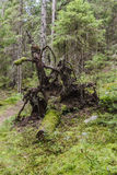 Moss covered roots of fallen tree Stock Photography