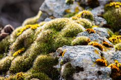 Moss-covered stone. Beautiful moss and lichen covered stone. Bright green moss Background textured in nature. Selective focus royalty free stock photography