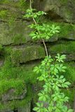 Moss covered stone wall with vine. Stones covered with moss and vine Stock Photography