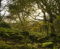 Moss covered stones in the autumn trees. View of some green moss covered stones amongst the autumn trees Stock Images