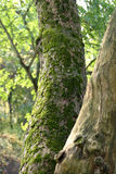Moss Covered Tree. Trunk stock image