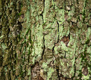 Moss covered tree bark Royalty Free Stock Photo