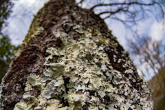 Moss covered tree bark close up Royalty Free Stock Image