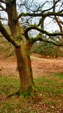 Moss covered tree at Cannock Chase Royalty Free Stock Photo