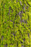 Moss-covered tree Royalty Free Stock Image