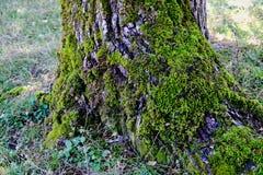 Moss Covered Tree djupt texturerad stam royaltyfri foto