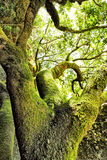 Moss-covered tree. At El Hierro island, Canaries Royalty Free Stock Photography