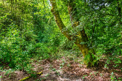 Moss covered tree in the forest Stock Photography