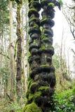 Moss Covered Tree instável Fotos de Stock Royalty Free