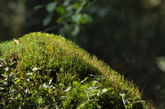 Moss covered tree limb seedlings and young plants. Royalty Free Stock Photography