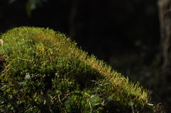 Moss covered tree limb seedlings and young plants. Rays of light Royalty Free Stock Images