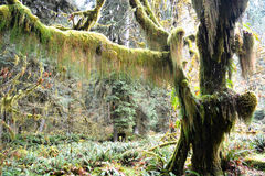 Moss Covered Tree na floresta úmida Foto de Stock