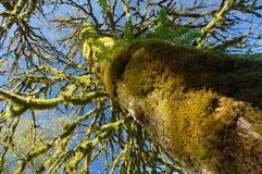Moss covered tree. In October, BC, Canada Stock Image