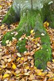 Moss covered tree roots Royalty Free Stock Images