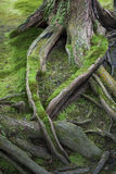 Moss Covered Tree Roots. Roots of an old tree covered in moss Stock Photo