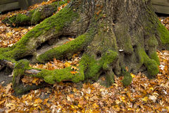Moss covered tree roots . Royalty Free Stock Photography