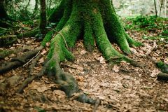 Moss-covered tree roots and fallen leaves covering the ground around the tree. Fairy Forest stock image