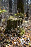 Moss covered tree stump in a forest. In Duck mountain provincial park, Manitoba, canada royalty free stock photography