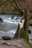 Moss covered tree stump on Golitha Falls Royalty Free Stock Photos