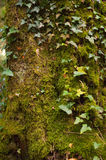 Moss covered tree trunck Royalty Free Stock Photo