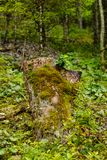 Moss covered tree trunk with a fresh branch in forest Stock Image