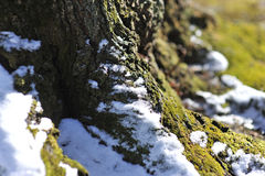 Moss covered tree trunk and late spring snowfall Stock Image