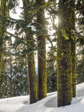 Moss covered tree trunks in the snow. Moss and lichen are green on the conifer tree trunks surrounded by snow in the winter Royalty Free Stock Images