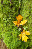 Moss covered tree with two yellow leaves Stock Photo