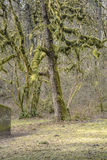 Moss covered tree Washington state parks. Royalty Free Stock Photos