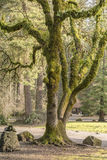 Moss covered tree Washington state parks. Royalty Free Stock Images