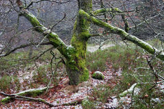 Moss covered tree in winter Royalty Free Stock Photos