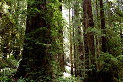 Moss covered trees. Moss covered tree trunks in lush forest Royalty Free Stock Photography