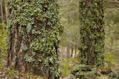 Moss covered trees. A background of moss covered trees in a forest Stock Photo
