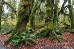 Moss covered trees and ferns Olympic National Park Royalty Free Stock Images