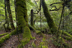 Moss covered trees, Fiordland National Park, South Island, New Zealand Royalty Free Stock Images