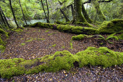 Moss covered trees, Fiordland National Park, South Island, New Zealand Stock Photo
