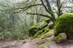 Moss covered trees growing among rock boulders on a foggy day, Castle Rock State park, San Francisco bay area, California royalty free stock photos
