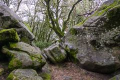 Moss covered trees growing among rock boulders on a foggy day, Castle Rock State park, San Francisco bay area, California stock photos